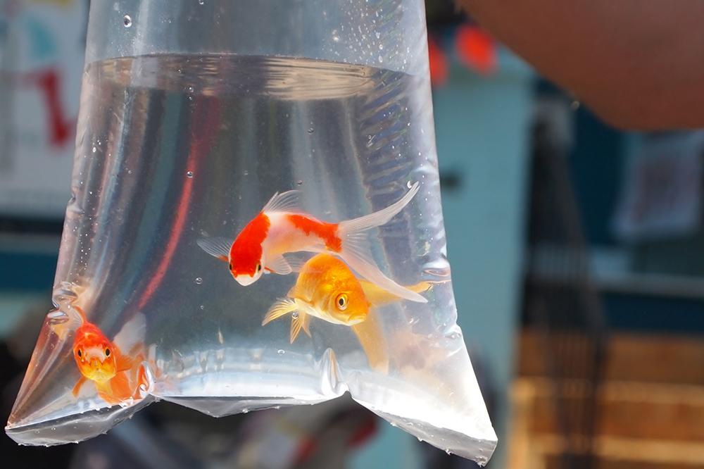 ماهی قرمز