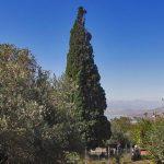 درخت سرو هرزویل رودبار