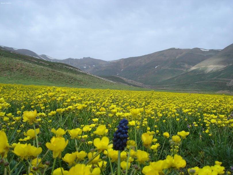 دشت گل زرد پلور