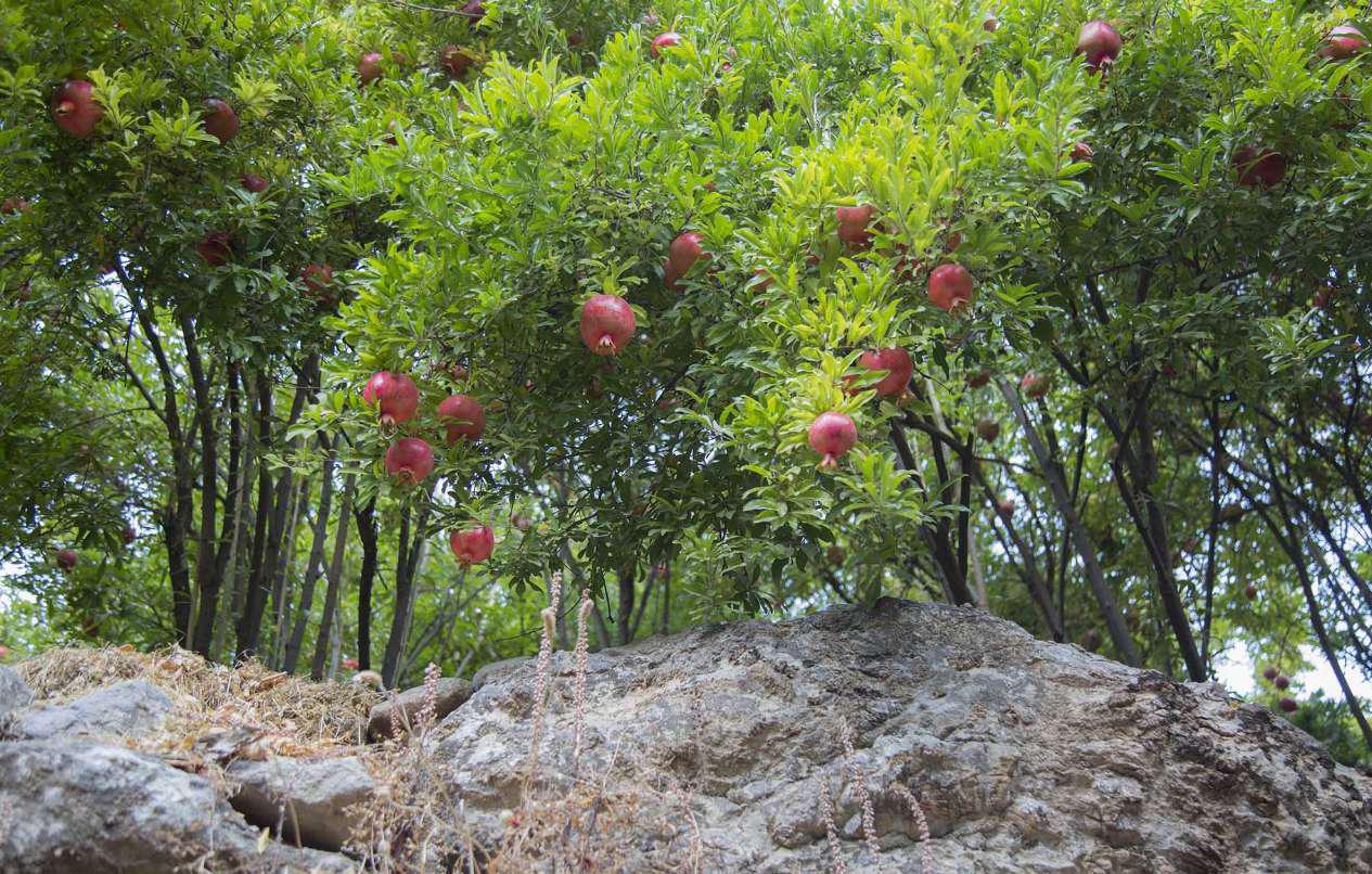 باغ های انار ژیوار کردستان