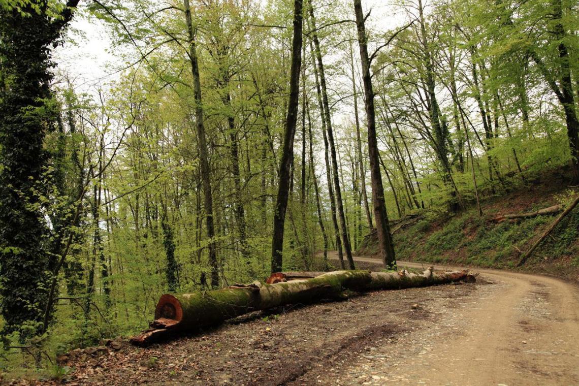 جنگل توسکا چشمه