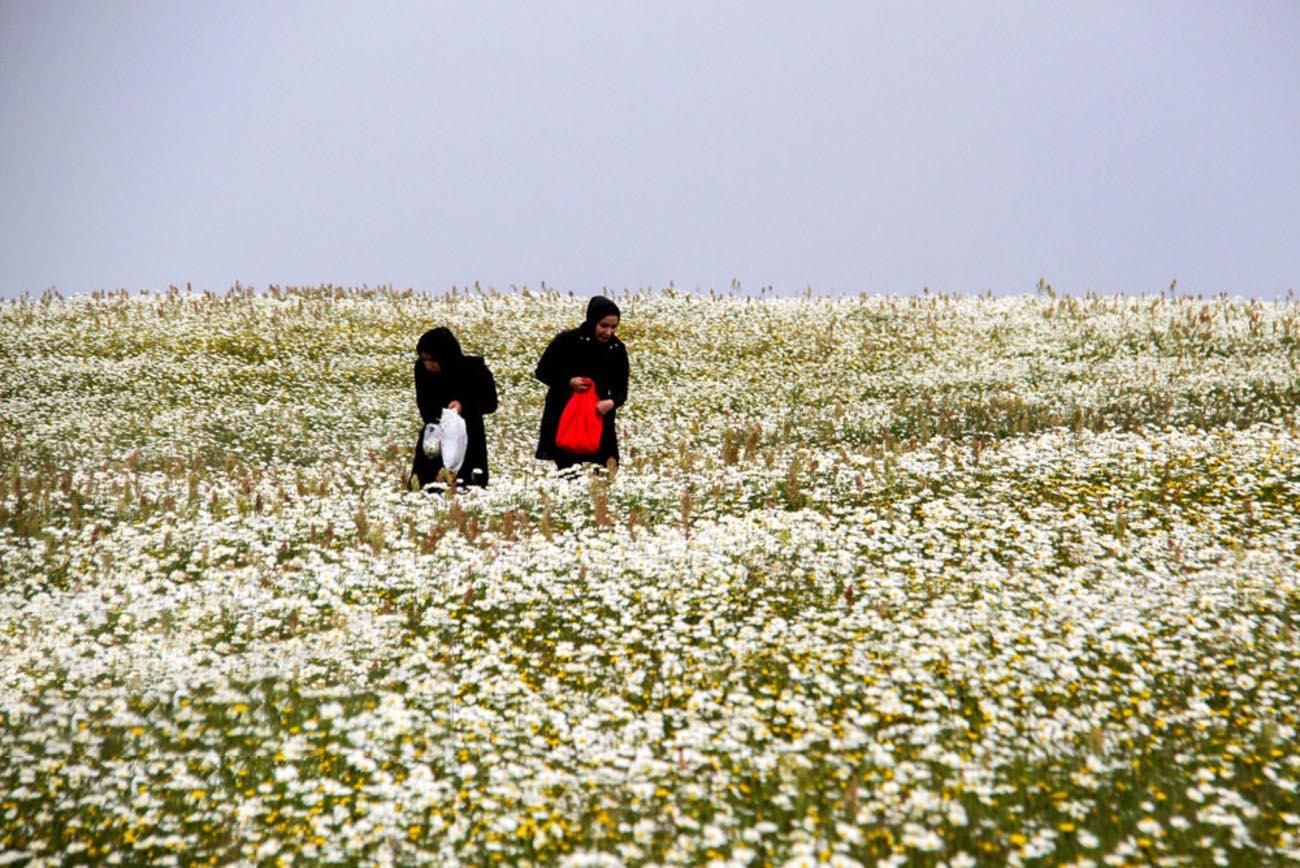 جشنواره گل های بابونه