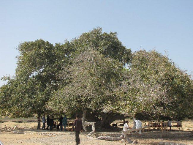 درخت مکر زن