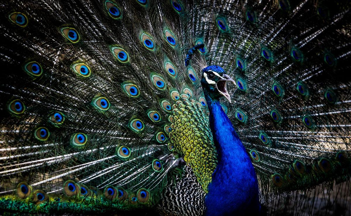 طاووس باغ پرندگان اصفهان