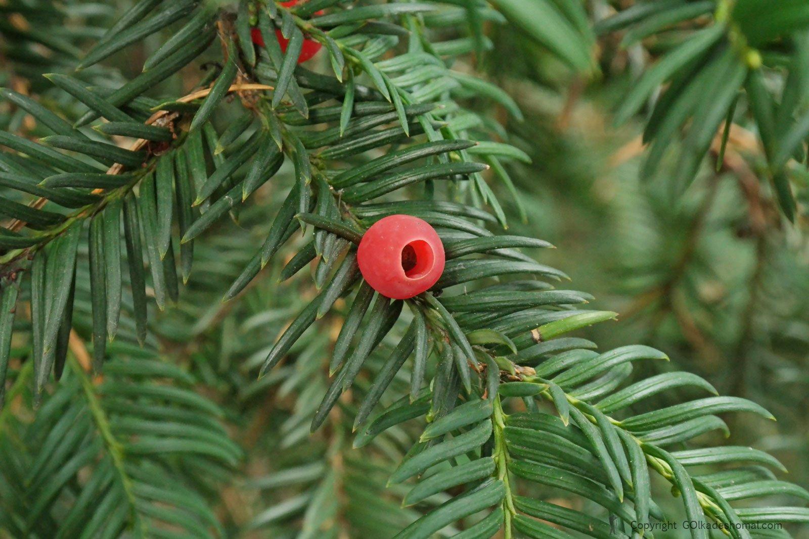 درخت سرخدار