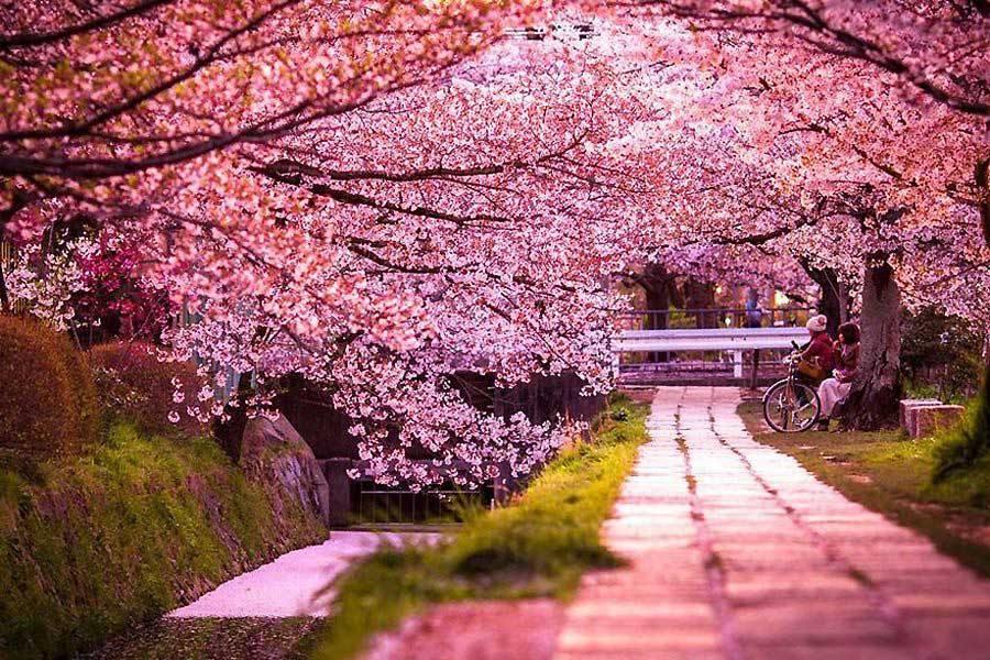 شکوفههای گیلاس ژاپن، فصل مناسب سفر